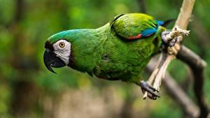 Фото Попугаи Птица Крупным планом Ара (род) Клюв Зеленый животное