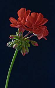 Обои для рабочего стола Черный фон Красные Бутон Pelargonium цветок