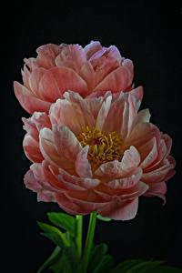 Картинки Пион Вблизи На черном фоне Два Розовая цветок