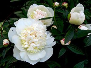 Фотография Пион Вблизи Белый Бутон Цветы