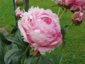 Фотографии Пион Бутон Розовая цветок