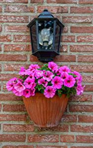 Фото Петунья Розовый Уличные фонари Стена Цветочный горшок Цветы