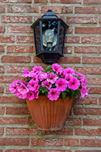 Фото Петунья Розовые Уличные фонари Стене Цветочный горшок Цветы