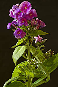 Фото Флоксы Вблизи На черном фоне Бутон цветок