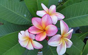 Фотографии Плюмерия Крупным планом Листва Цветы