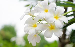 Обои для рабочего стола Плюмерия Крупным планом Белый Цветы