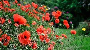 Картинка Маки Боке Бутон Цветы
