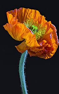 Фото Маки Вблизи На черном фоне Оранжевый Цветы