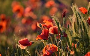 Фото Мак Колосок Бутон Красная Боке цветок