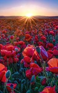 Фотографии Маки Поля Красный Лучи света Солнце Природа Цветы