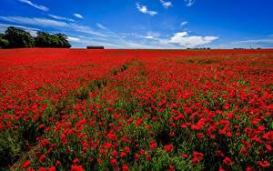 Фотографии Маки Лето Поля Цветы