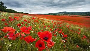 Обои Маки Лето Поля Размытый фон цветок Природа