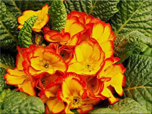 Фотографии Первоцвет Вблизи цветок