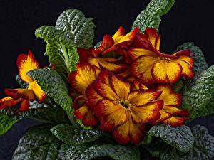 Фотография Примула Вблизи Черный фон Лист Цветы