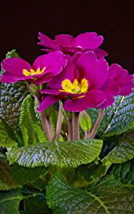 Картинки Первоцвет Крупным планом На черном фоне Розовые Цветы