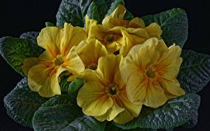 Обои для рабочего стола Первоцвет Вблизи На черном фоне Желтая цветок