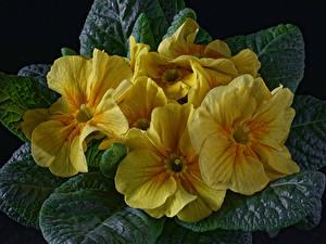 Обои Первоцвет Вблизи На черном фоне Желтая цветок