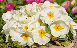 Обои Первоцвет Вблизи Белый Цветы