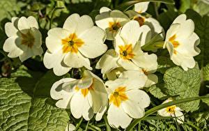 Обои Первоцвет Вблизи Белая цветок