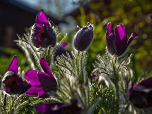 Фотография Прострел Фиолетовые Размытый фон цветок