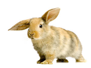 Фото Кролики Вблизи Белый фон Животные