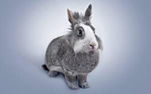 Фото Кролик Серая Животные