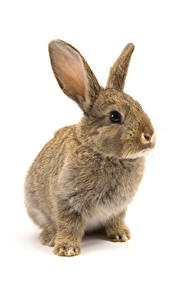 Картинки Кролик Белом фоне животное