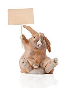 Картинки Кролики Белый фон Шаблон поздравительной открытки Сидит Смешная Животные