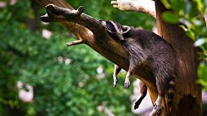 Фото Еноты Лежат На ветке Спящий Релакс Лап Животные