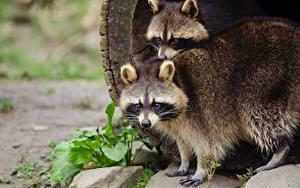 Фото Еноты 2 Смотрит Животные