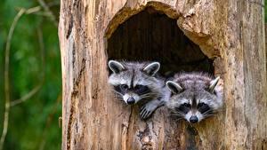Фотографии Еноты 2 Усы Вибриссы Смотрит Ствол дерева дупло животное