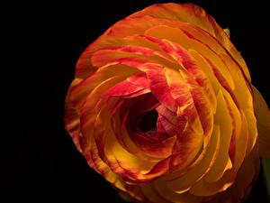Картинка Лютик Вблизи На черном фоне цветок