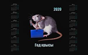 Фотографии Крыса На черном фоне 2020 Календаря Российские