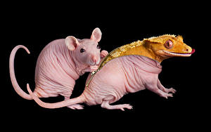 Обои Крысы Черный фон Ящерица Двое Животные