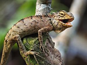 Фотографии Рептилии Боке На ветке Лап Игуана Животные