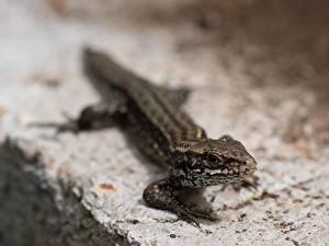 Фото Рептилии Размытый фон Ящерица Взгляд животное