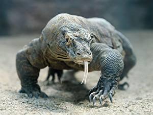 Фотография Рептилии Взгляд Язык (анатомия) Лапы Размытый фон Komodo dragon Животные