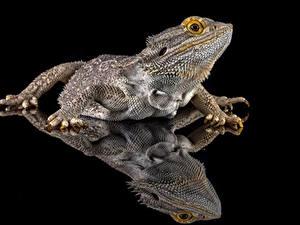 Обои Рептилии Отражается Ящерица На черном фоне bearded dragon животное