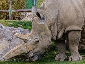 Фотография Носороги Крупным планом животное
