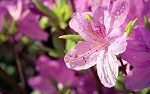 Фотографии Рододендрон Размытый фон Розовый Капли Цветы