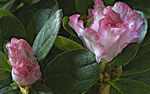 Картинка Рододендрон Крупным планом Листья Цветы