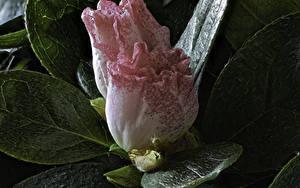 Фотографии Рододендрон Крупным планом Двое Цветы