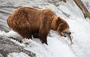 Обои для рабочего стола Речка Гризли Рыбы Ловля рыбы Водопады Охотится животное