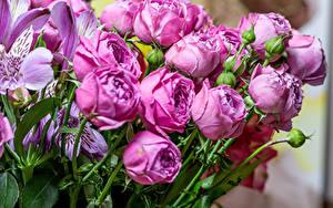 Фотографии Розы Альстрёмерия Фиолетовый Бутон Цветы