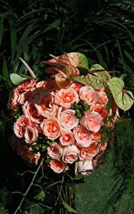 Картинки Розы Антуриум Розовые Цветы