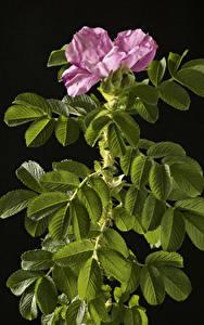 Фото Розы Черный фон Ветка Розовые Цветы
