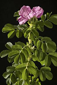 Фото Роза На черном фоне Ветвь Розовая