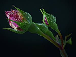 Обои для рабочего стола Розы Черный фон Бутон Две Капельки Цветы