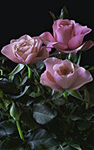 Фотографии Розы Черный фон Розовые Втроем Лист Цветы