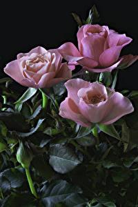 Фотографии Розы Черный фон Розовый Втроем Листва Цветы
